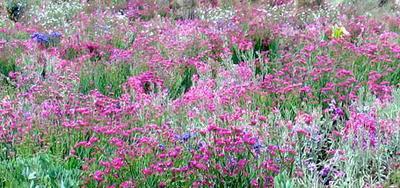 Las flores de Cerro Quemado - Xela